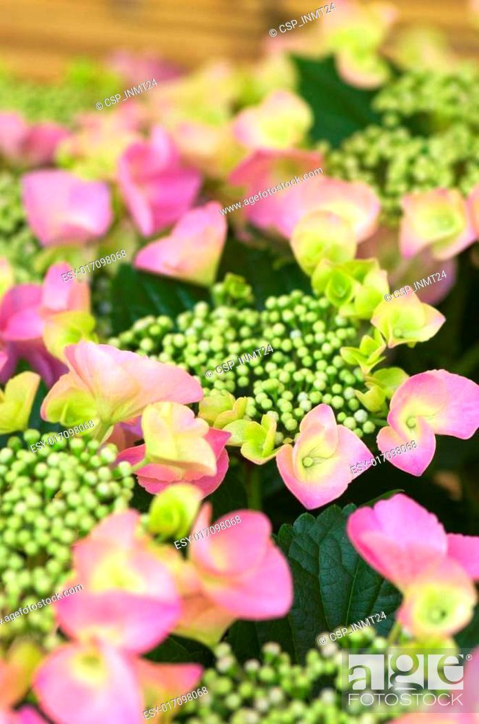 Stock Photo: vivid pink hydrangea.