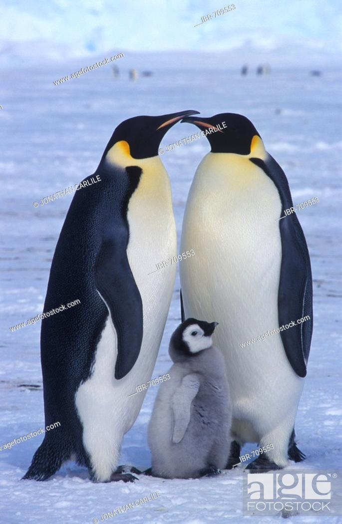 Stock Photo: Emperor Penguins and chick (Aptenodytes forsteri).
