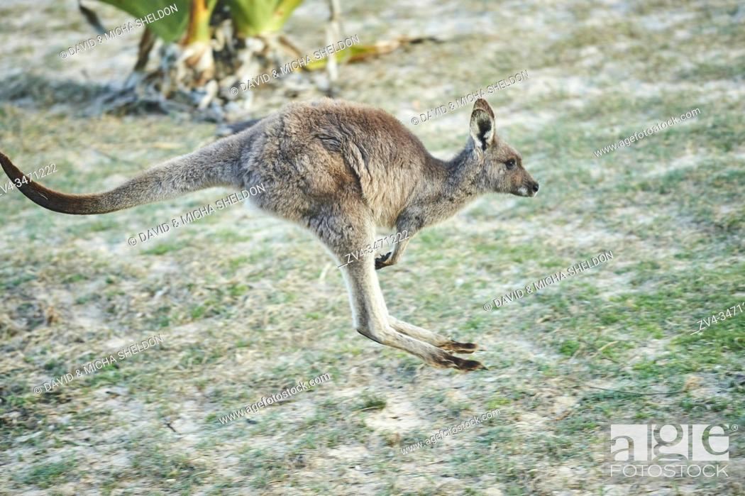 Stock Photo: Close-up of an eastern grey kangaroo (Macropus giganteus) wildlife in Australia.