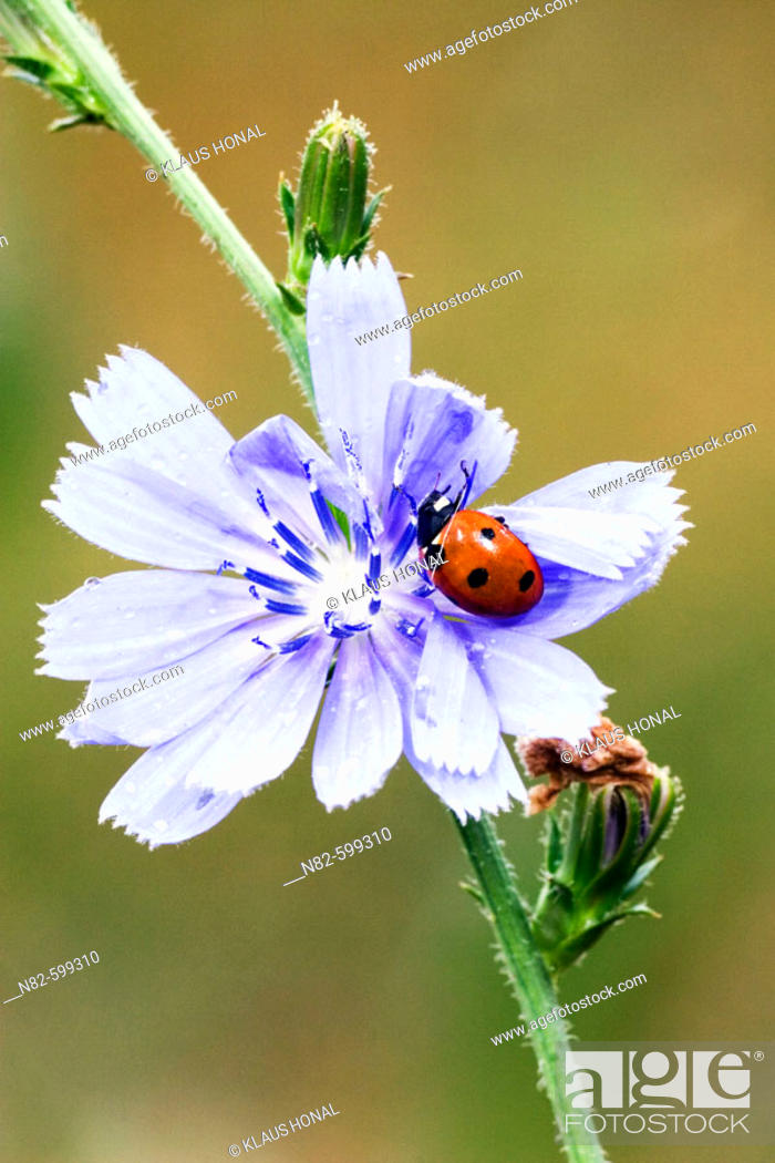 Stock Photo: Seven-spot Ladybird (Coccinella 7 punctata) on Blue chicory flower or Blue sailors common chicory (Cichorium intybus).