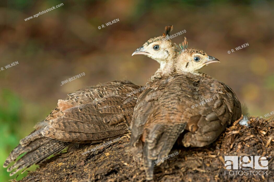 Imagen: Common peafowl, Indian peafowl, blue peafowl (Pavo cristatus), resting chicks, Germany, North Rhine-Westphalia.
