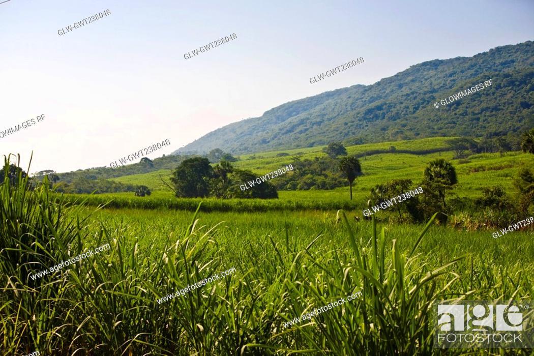 Stock Photo: Crop in a field, Tamasopo, San Luis Potosi, Mexico.
