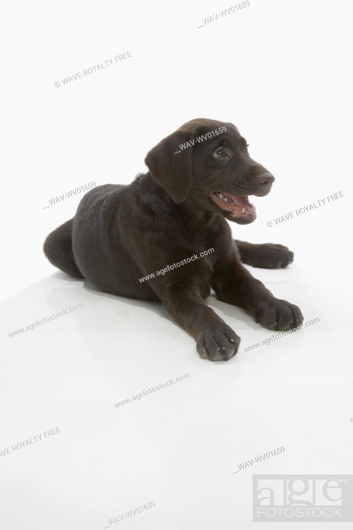 Stock Photo: Chocolate Labrador puppy, laying with paws stretched out, mouth open.