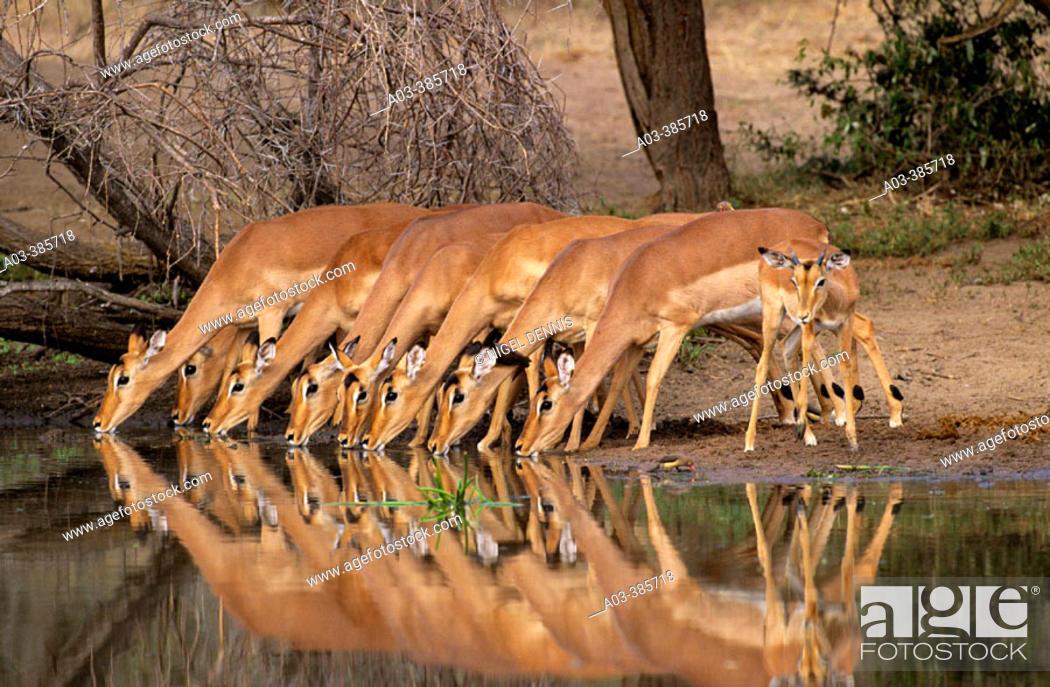 Stock Photo: Impalas (Aepyceros melampus). Kruger National Park. South Africa.