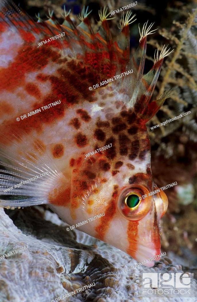 Stock Photo: Small Hawkfish, Cirrhitichthys falco, Indo Pacific Celebes Sea Sulawesi Manado, Indonesia.