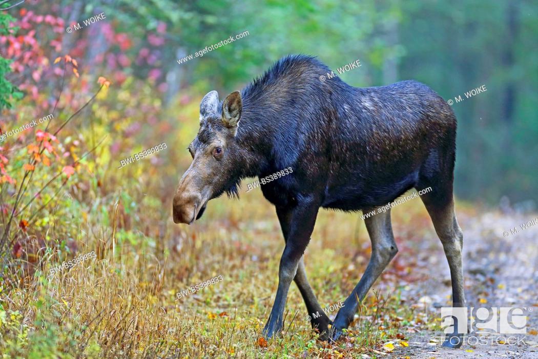 Stock Photo: Canadian moose, Northwestern moose, Western moose (Alces alces andersoni, Alces andersoni), female walks at the edge of the wood, Canada, Ontario.