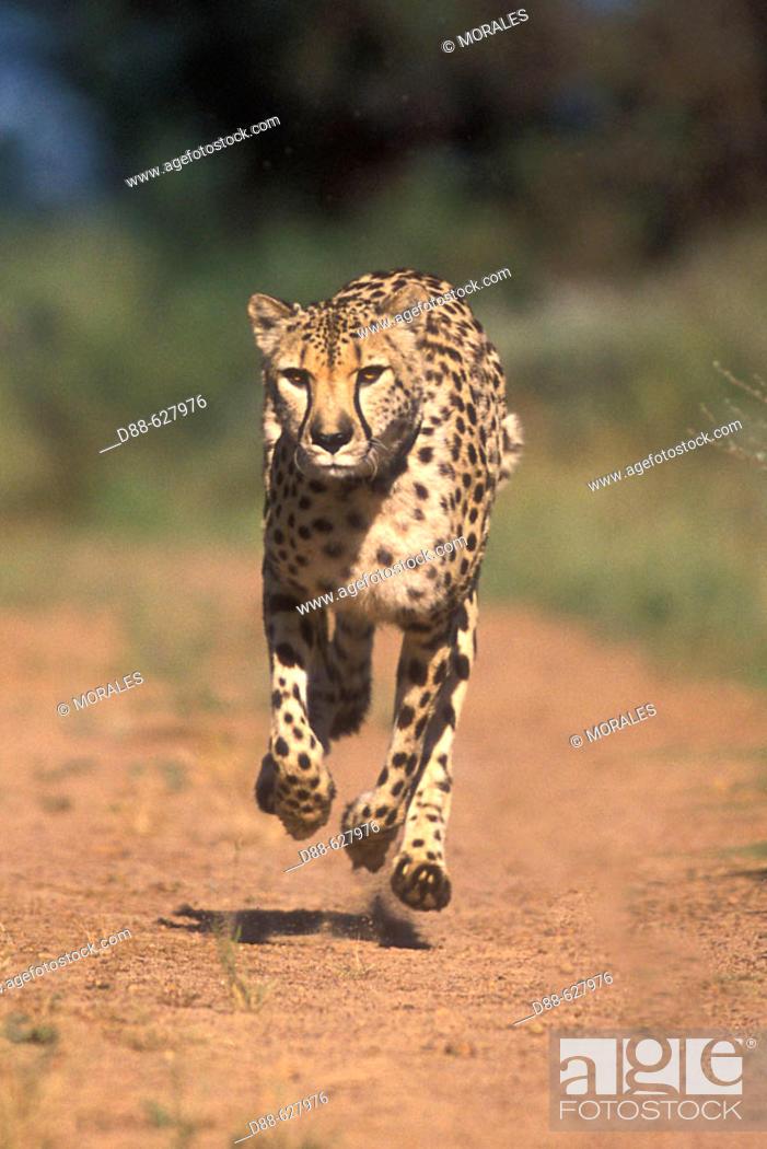 Stock Photo: Cheetah.