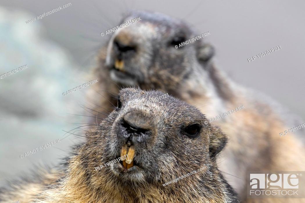 Stock Photo: Close-up of Alpine marmot (Marmota marmota) couple showing large sharp incisors / front teeth.