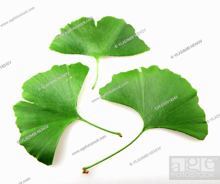 Imagen: Fresh ginkgo biloba leaf on a white background.