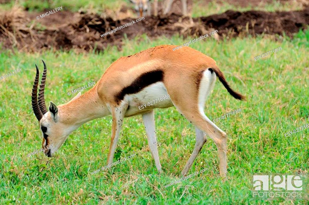 Stock Photo: impala in Tanzania national park.