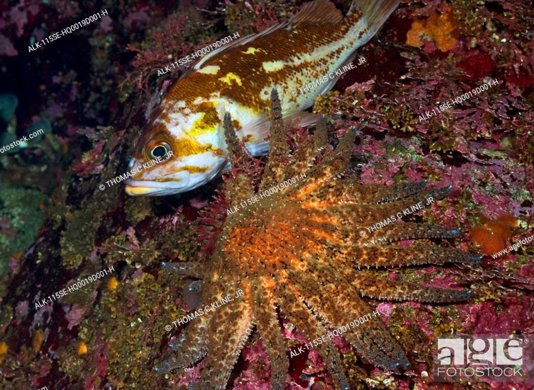 Stock Photo: Underwater close up of a Sunflower Sea Star and fish, British Columbia, Canada.
