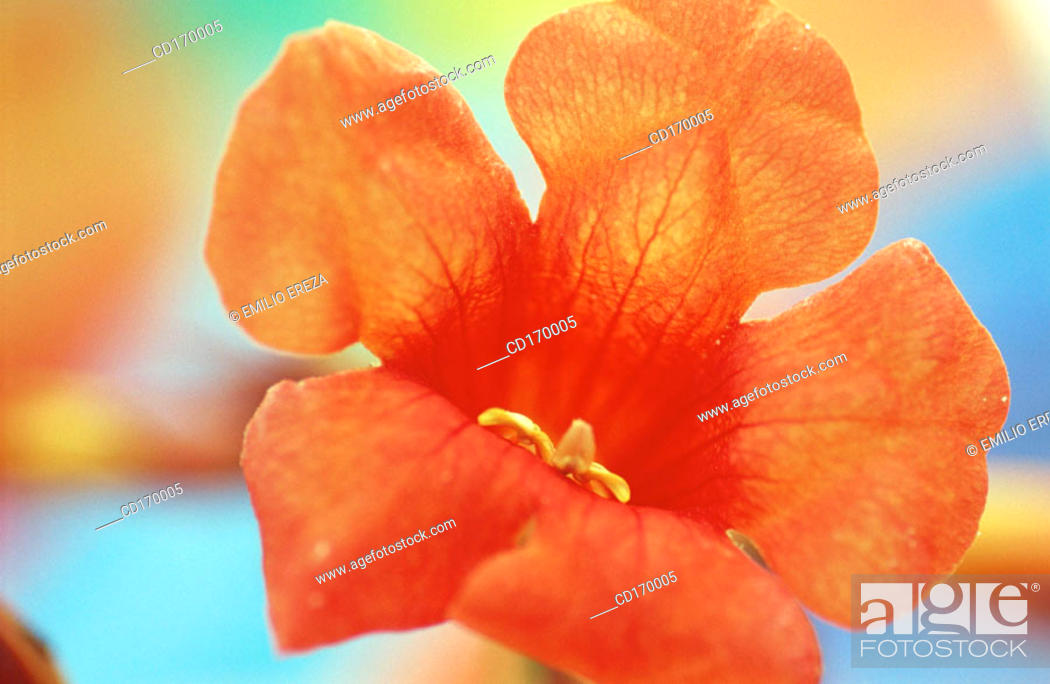 Stock Photo: Trumpet creeper (Campsis radicans).