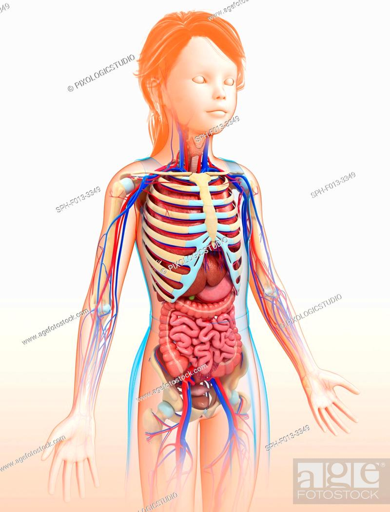 Human Internal Organs Illustration Stock Photo Picture And