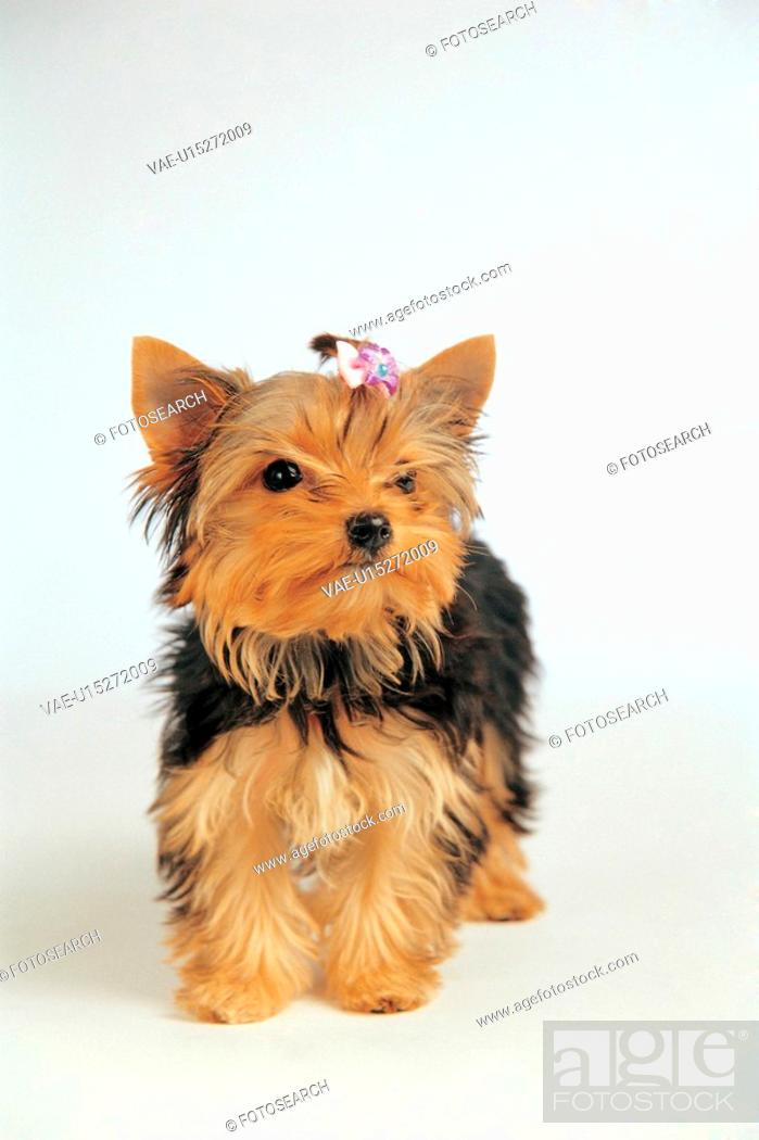 Stock Photo: canine, 35mm, domestic animal, Yorkshireterrier, petdog, film.