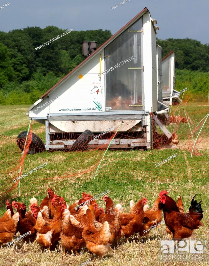 Organic egg-laying hens can be seen near their stalls on the