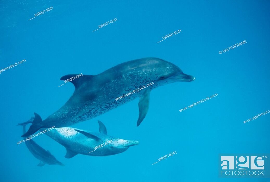 Imagen: Spotted Dolphins, Stenella frontalis, Atlantic, Caribbean Sea, Bahamas.