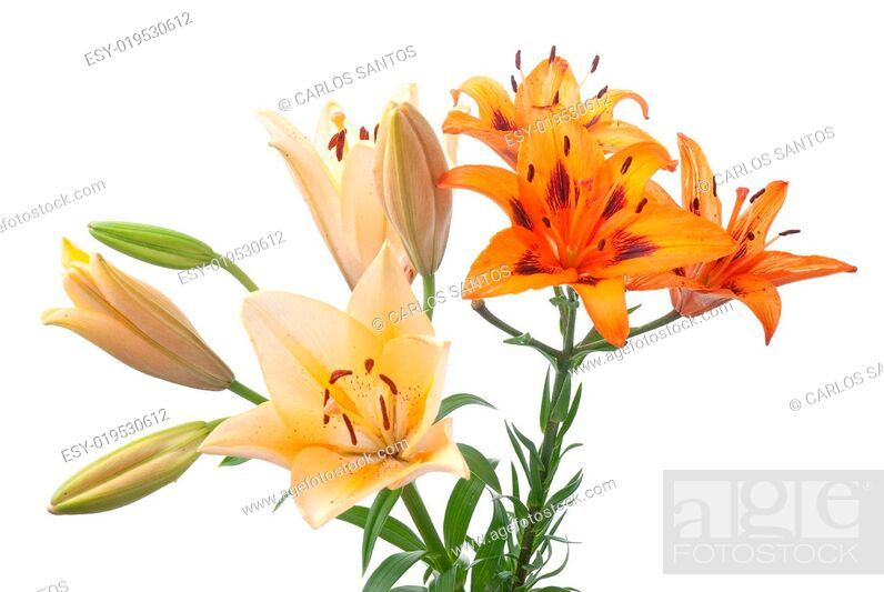 Stock Photo: Colorful fresh lillies.