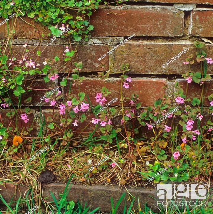 Stock Photo: ground-ivy / Glechoma hederacea.