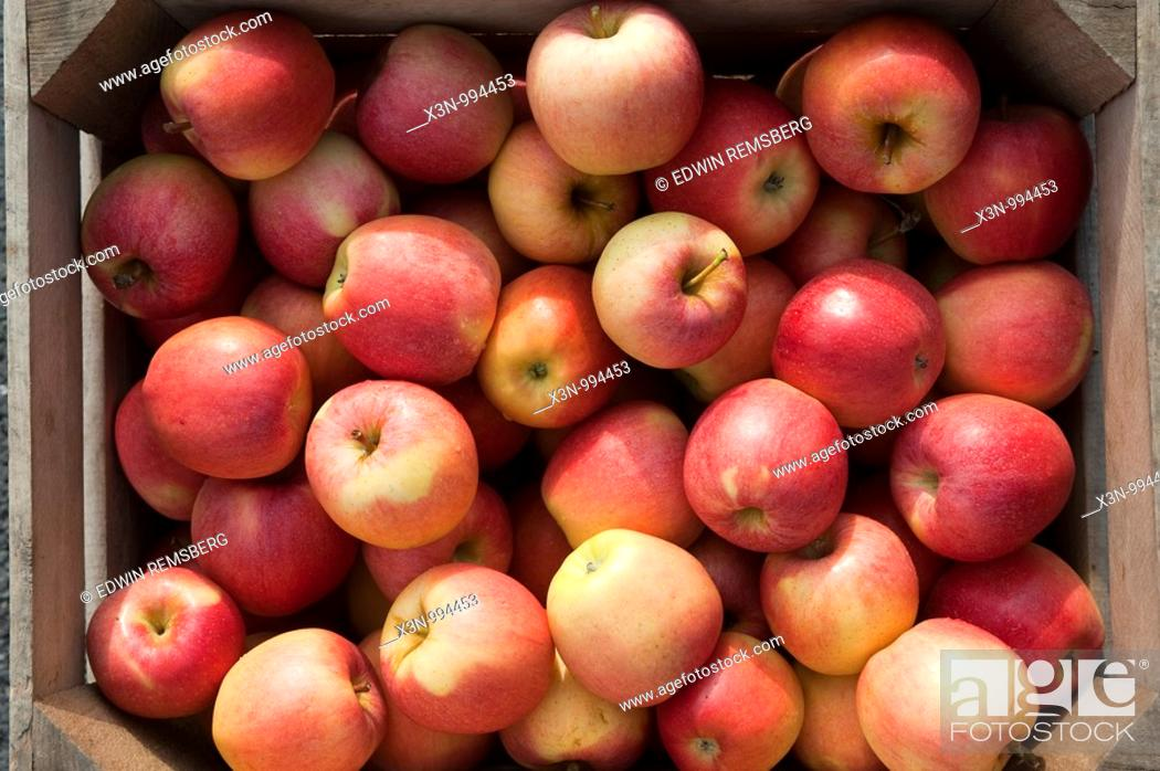 Stock Photo: Gala Apples at Catoctin Mountain Orchard, Thurmont Maryland.