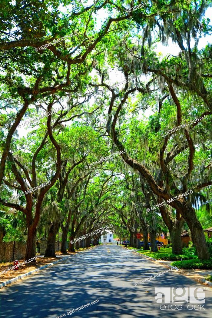 Magnolia Avenue Live Oak Canopy Anastasia Park In Historic St Stock