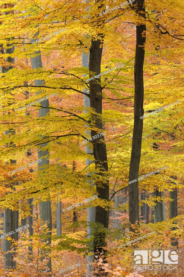 Stock Photo: Beech trees in autumn, Spessart, Germany, Europe.