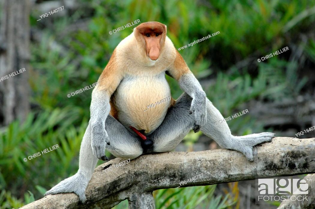 Imagen: Proboscis Monkey Dominant Male Displaying his Masculinity Labuk Bay Proboscis Monkey Sanctuary Sabah Borneo Malaysia.