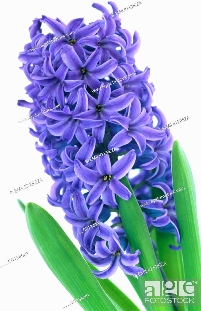 Stock Photo: Hyacinth, Hyacinthus.