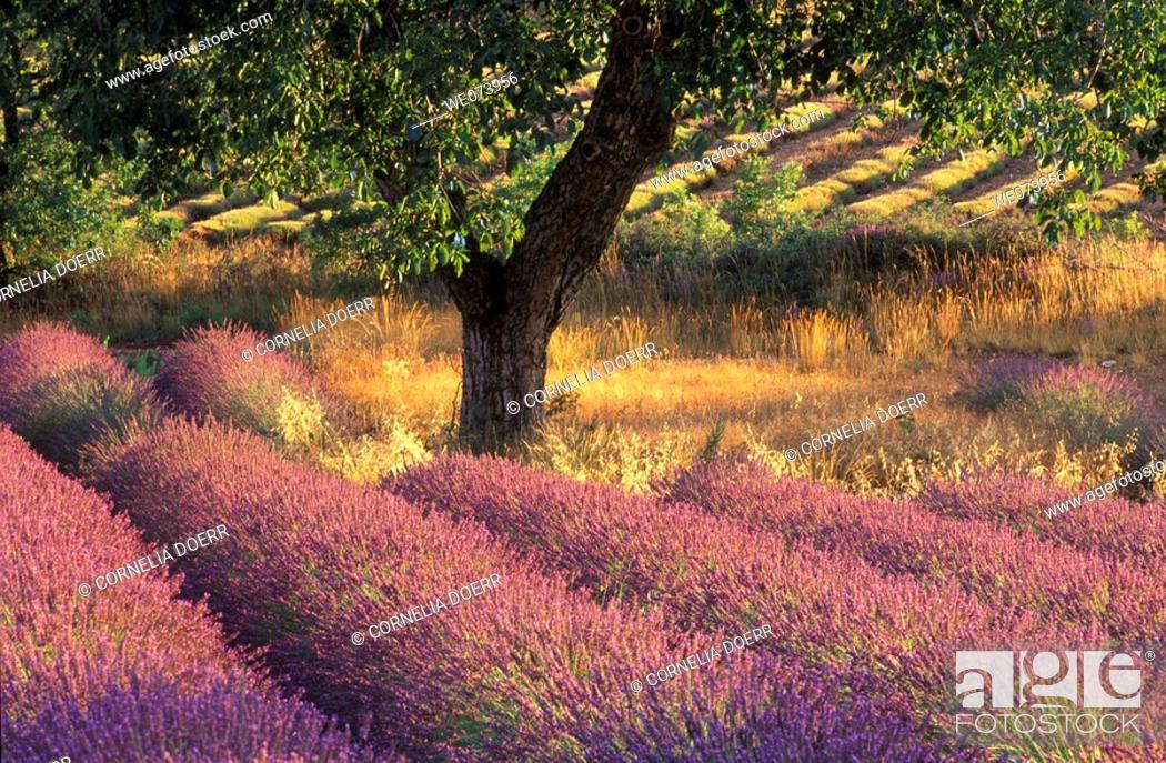 Stock Photo: Walnut Tree in Lavender field, Provence Alpes Cote d'Azur, Provence, France.