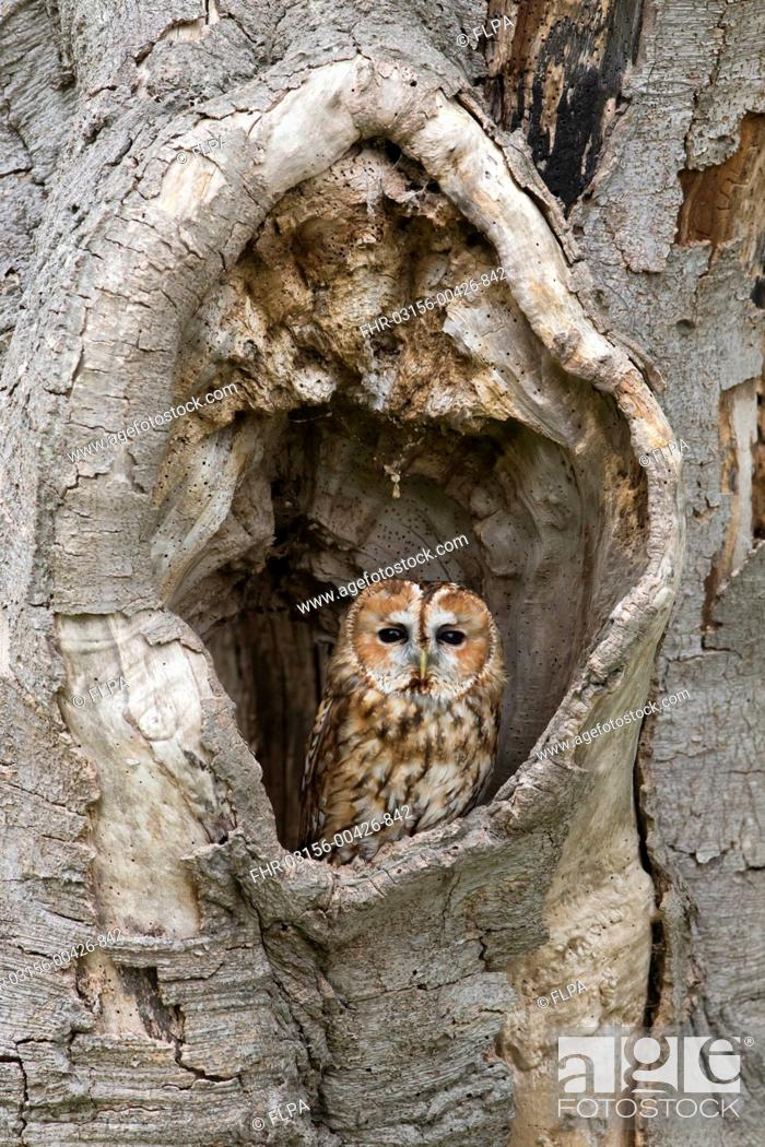 Stock Photo: Tawny Owl (Strix aluco) adult, perched in hollow tree, Suffolk, England, May (captive).