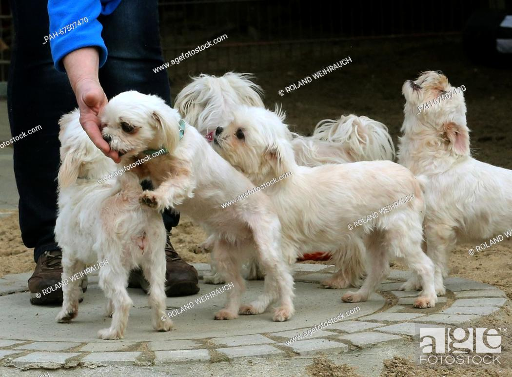 Stock Photo: Malteser dogs waiting for new owners at the animal shelter in Wesel, Germany, 6 April 2016. The dogs were saved from a careless breeder.