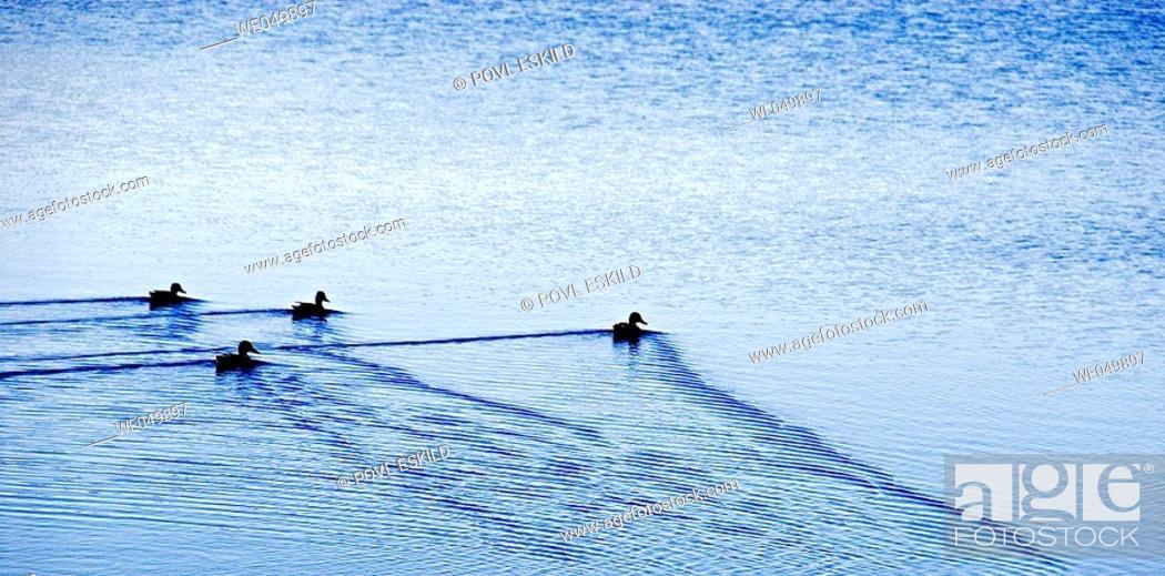 Stock Photo: Ducks in formation swimming on lake. Jutland, Denmark.
