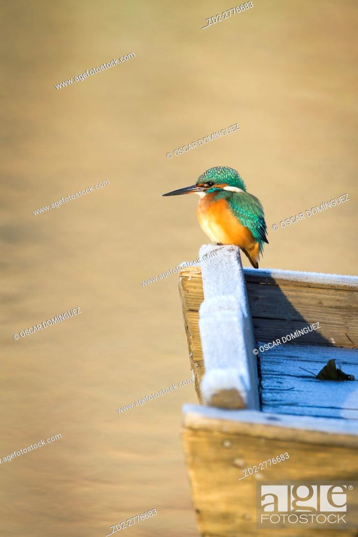 Imagen: Common Kingfisher (Alcedo atthis) female perched on wooden boat. Lower Silesia. Poland.