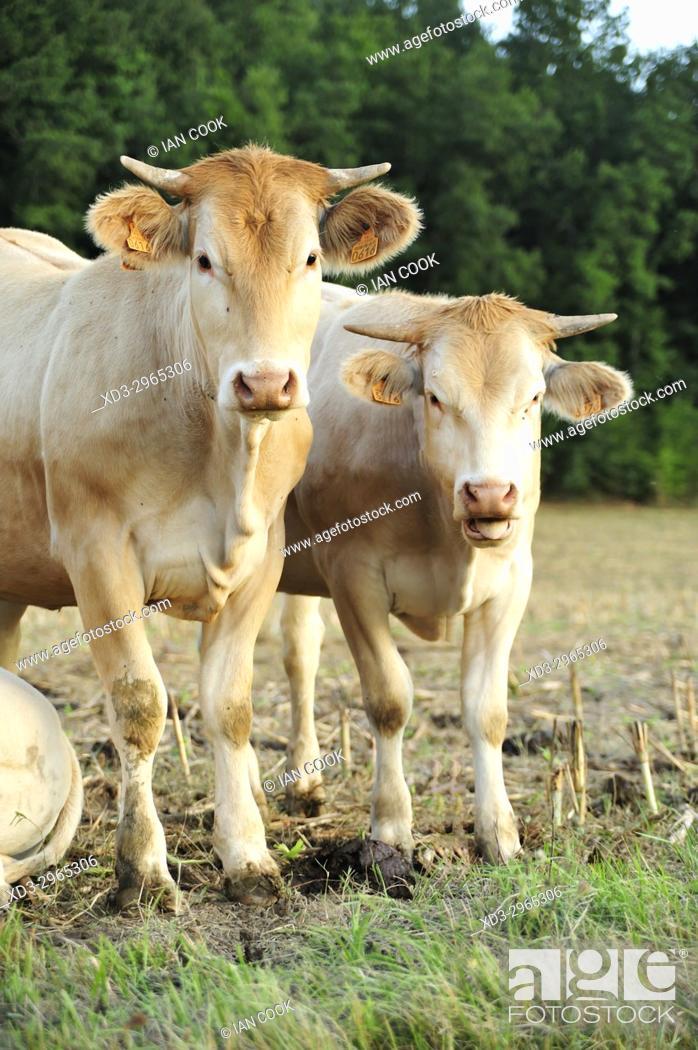 Stock Photo: cattle near Eymet, Dordogne Department, New Aquitaine, France.