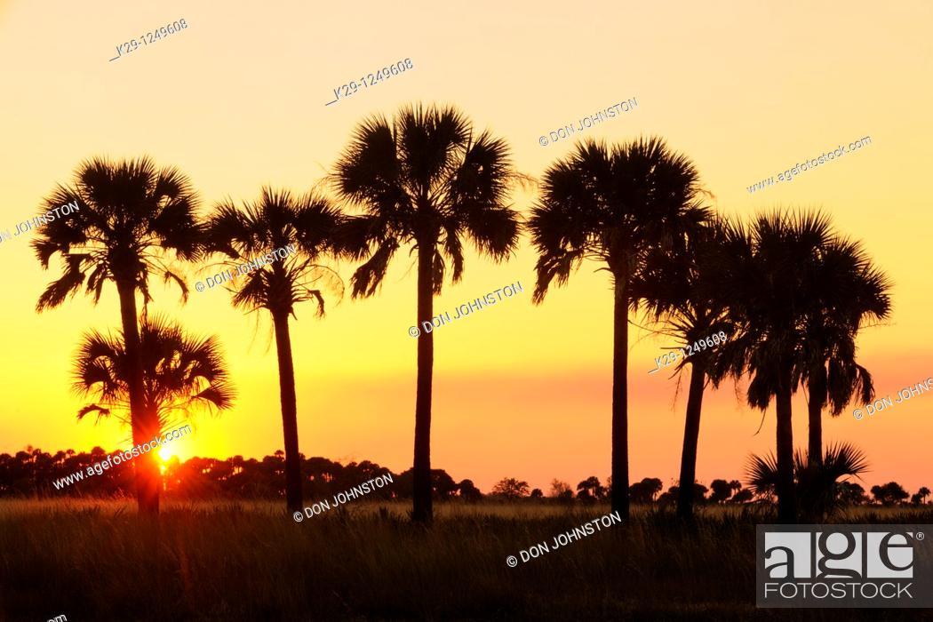 Stock Photo: Sabal palms in grassland at sunset.