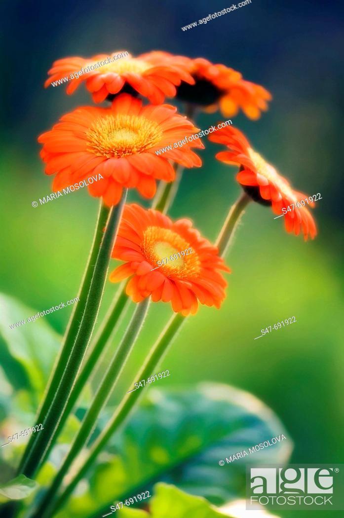Stock Photo: Orange Red Transvaal Daisy Flowers. Gerbera jamesonii. June 2007, Maryland, USA.