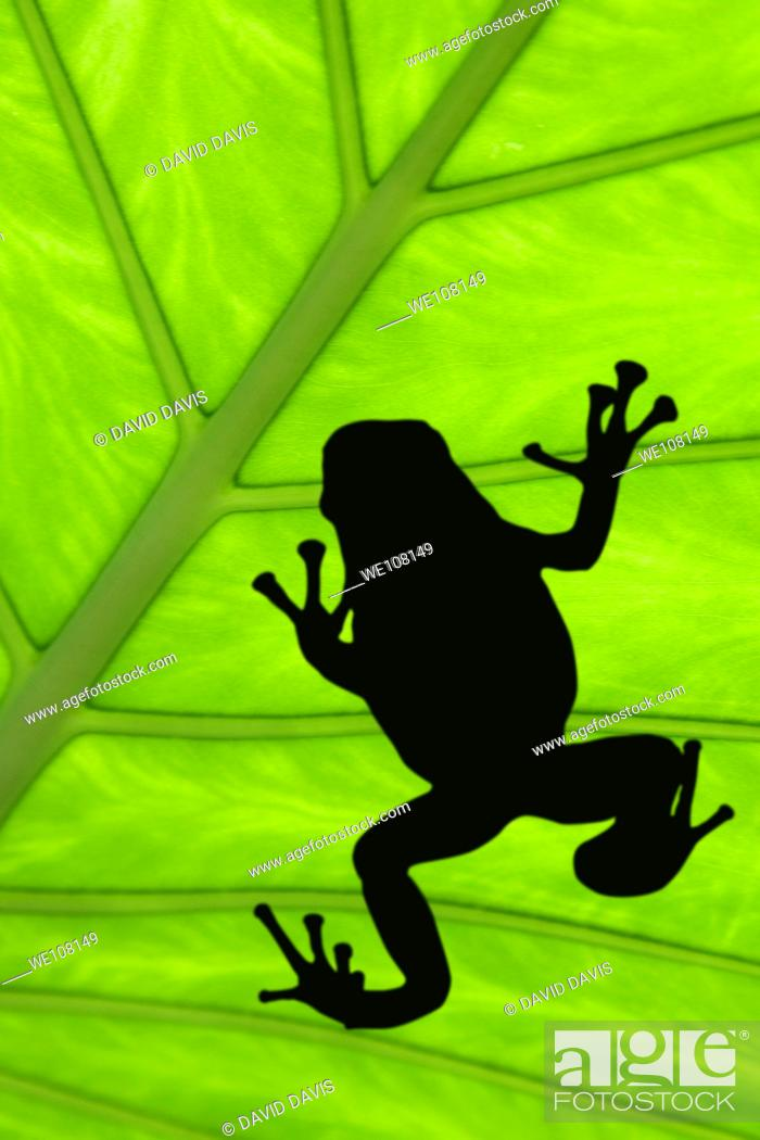 Stock Photo: Treefrog silhouetted on a green leaf.