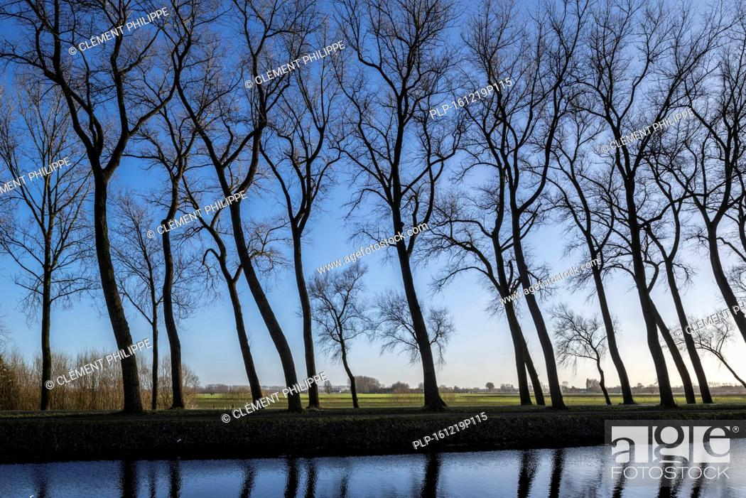 Stock Photo: Silhouettes of leaning poplar trees bordering canal Damse Vaart in winter near Damme, West Flanders, Belgium.
