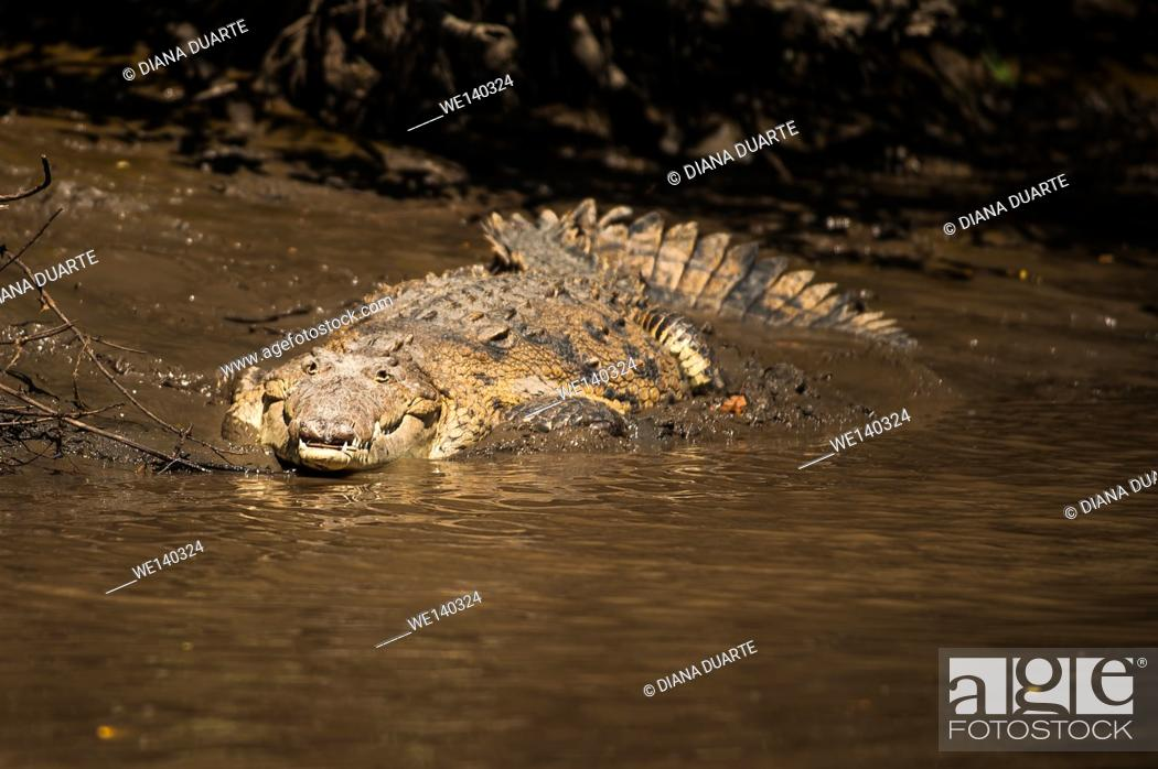 Stock Photo: 'American crocodile (Crocodylus acutus)'. Although the crocodile has a menacing reputation and certainly should not be provoked.