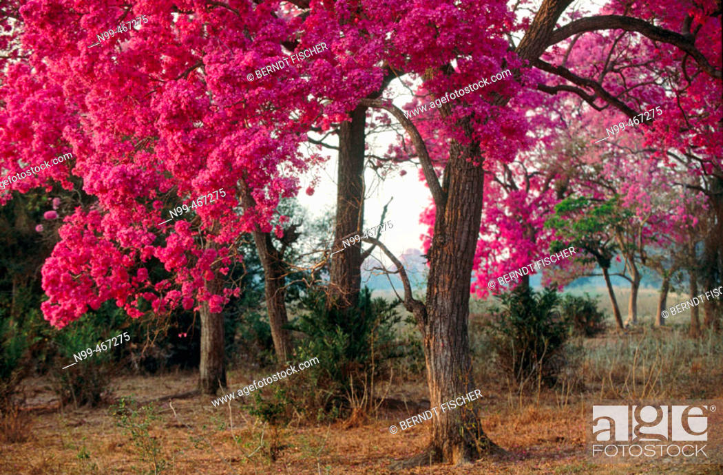Pink trumpet trees in flower dry pasture with trees type of stock photo pink trumpet trees in flower dry pasture with trees type of mightylinksfo