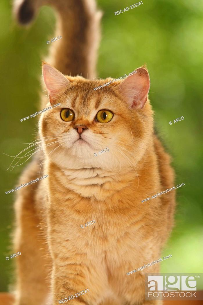 British Shorthair Cat, golden-ticked-tabby, Stock Photo