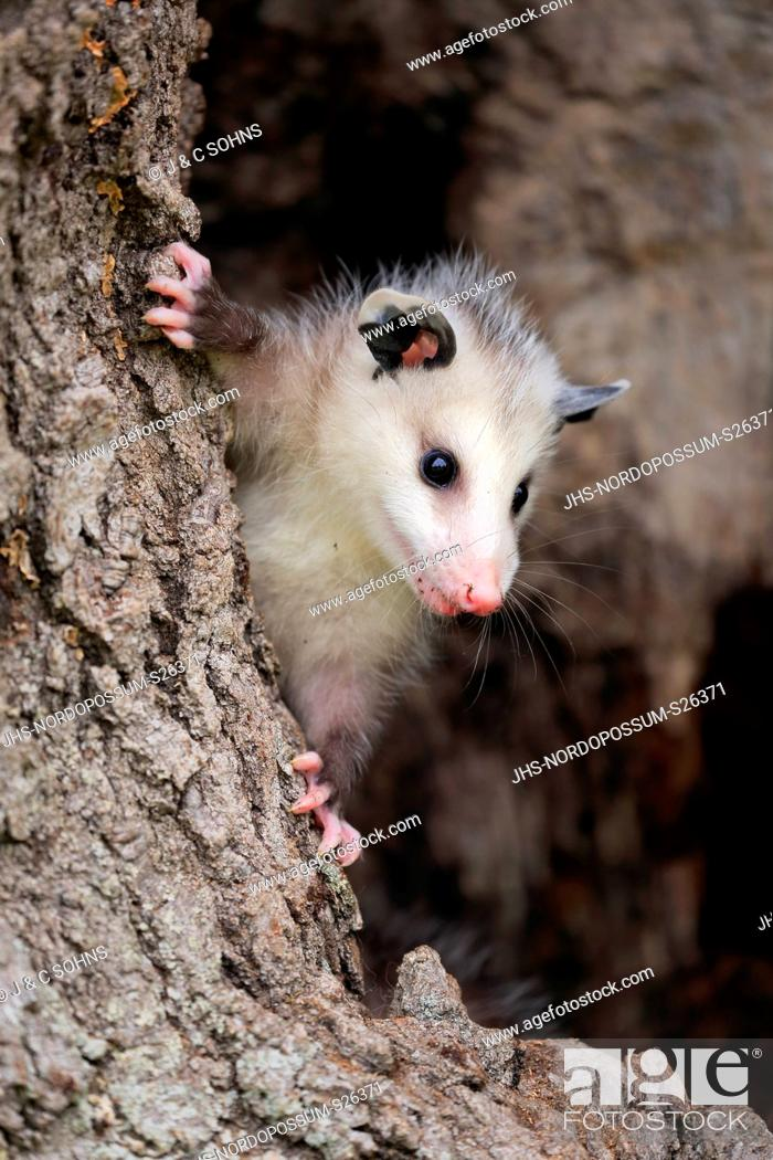 Stock Photo: Virginia opossum, North American opossum, (Didelphis virginiana), young at tree trunk alert, portrait, Pine County, Minnesota, USA, North America.