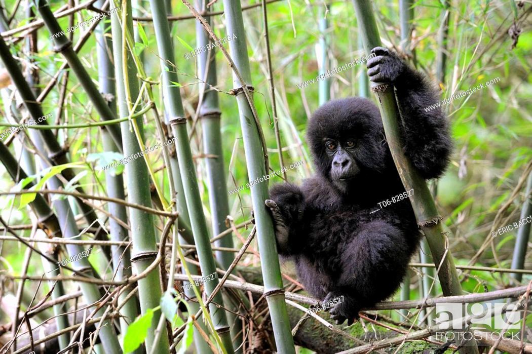 Stock Photo: Young mountain gorilla climbing (Gorilla beringei beringei) in the Volcanoes National Park, Rwanda, Africa.