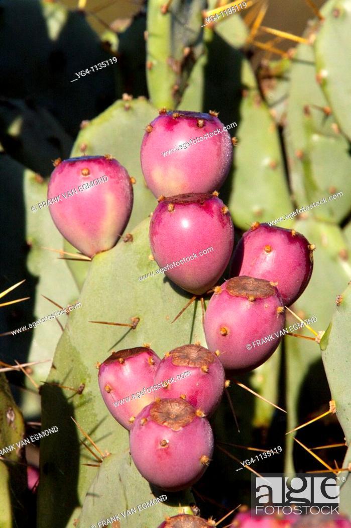 Stock Photo: Cactus details  Winter, May 2009  Hluhluwe-Imfolozi Game Reserve, Kwazulu Natal, South Africa.