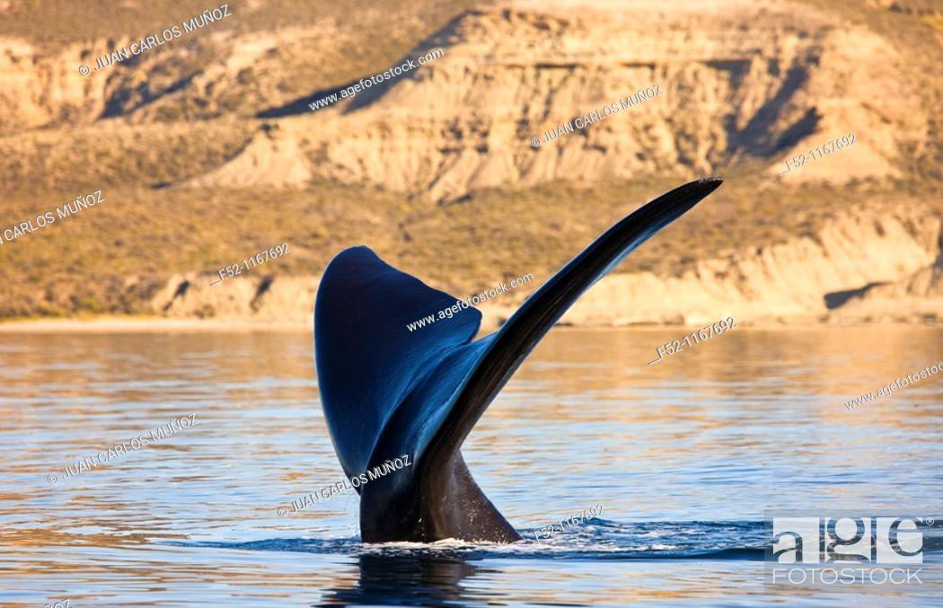 Imagen: Southern Right Whale (Eubalaena australis), Peninsula Valdes, Patagonia, Argentina.