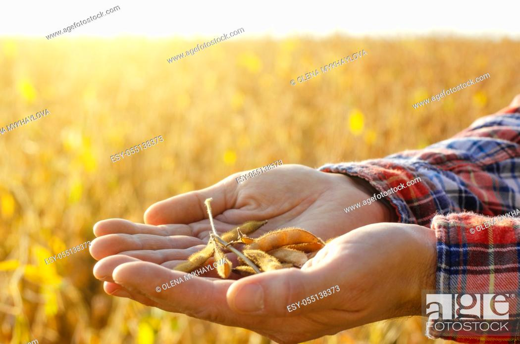 Stock Photo: Harvest ready soy pods in farmer hands on field background evening sunset time.