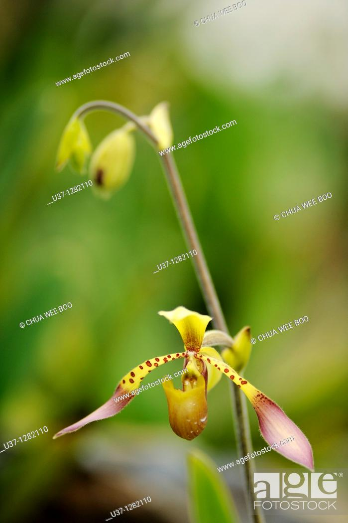 Stock Photo: This orchid plant was taken at Orchid Garden, Kuching, Sarawak, Malaysia.