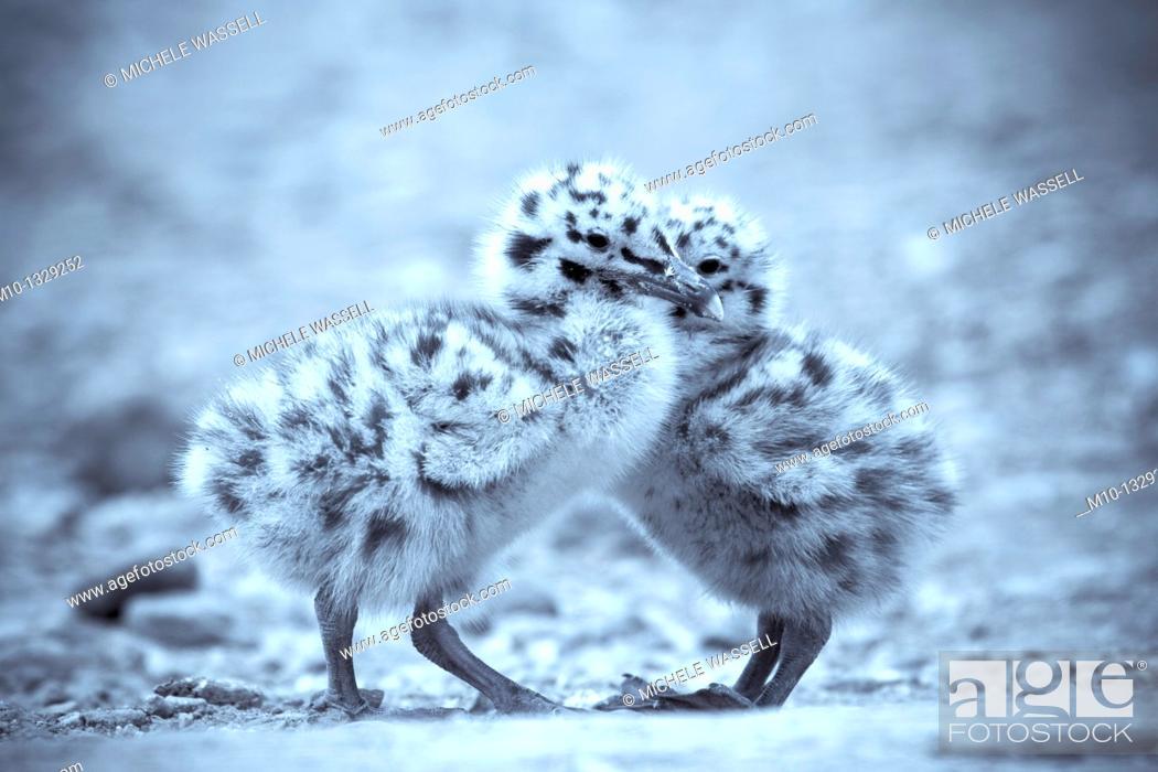 Stock Photo: Gull chicks.