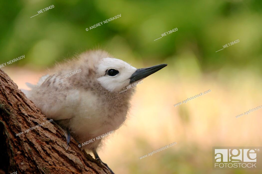 Stock Photo: Fairy, White Tern Bird or holy ghost bird (Gygis alba) baby, Denis island, Seychelles.
