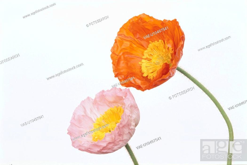 Stock Photo: Two Poppies.