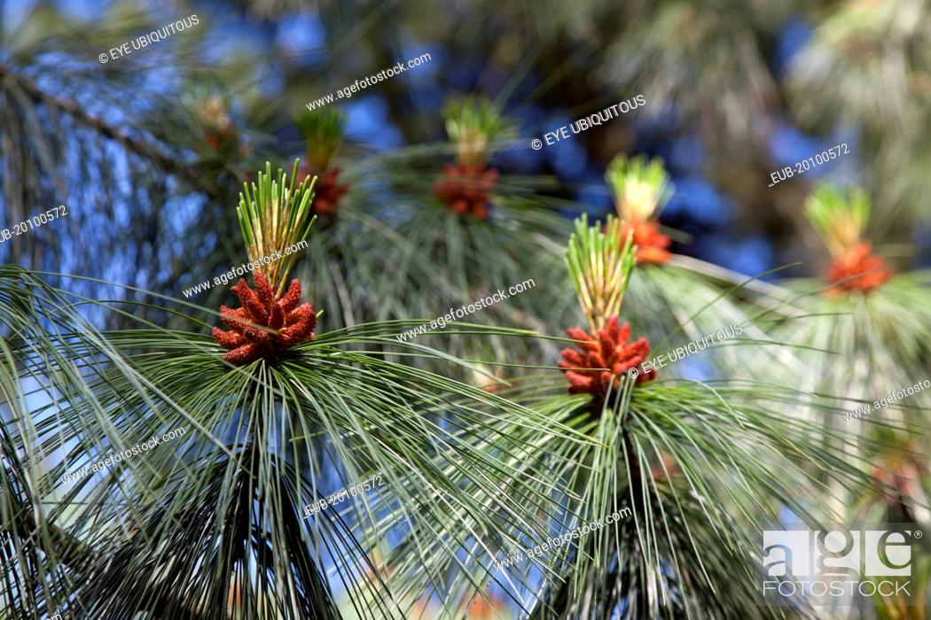 Botanic Gardens details of Pine tree male pollen cone shaped like a